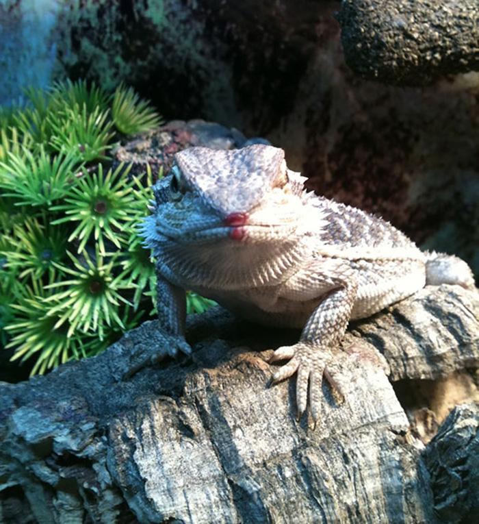 animales comiendo bayas de dragón barba