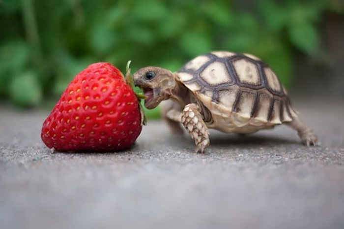 una tortuga diminuta se pega una fresa