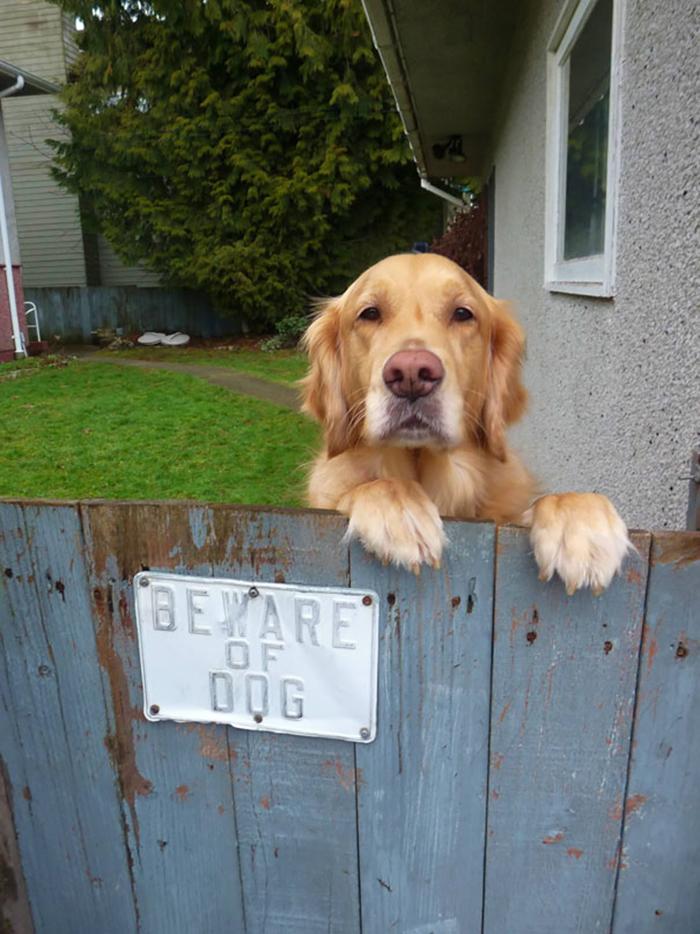 Perro amistoso mirando detrás de una señal de advertencia