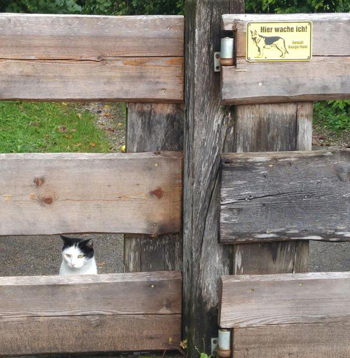 un gato guardián siempre está al acecho