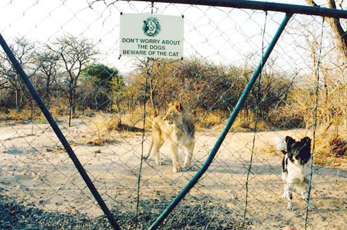 león, divertido, señal de advertencia