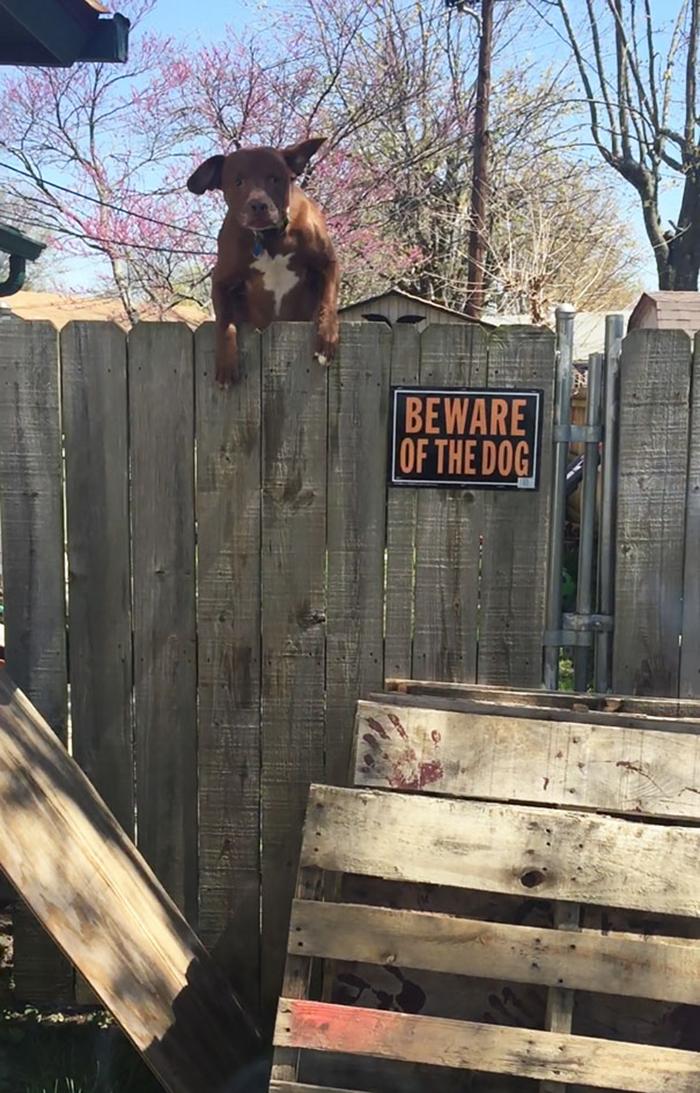 guardia de salto alto perrito